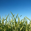 Stock Photo: Green grass and clear blue sky