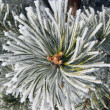 Close up of frost on pine tree — Stock Photo