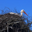 Royalty-Free Stock Photo: The white stork on the nest