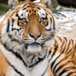 Siberian tiger head portrait — Stock Photo