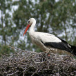 Stork in nest, branch made — Stock Photo #8824584
