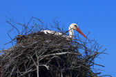 The white stork on the nest — Stock Photo