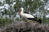 Stork in nest, branch made — Stock Photo