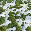 Green grass under the snow - Stock Photo