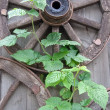 Stockfoto: Old wooden wagon wheels and green plantlet