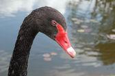Hoofd van de zwarte zwaan — Stockfoto