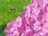 Bumblebee flying to a flower — Stock Photo