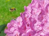Bourdon vole à une fleur — Photo