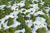 Green grass under the snow — Stock Photo