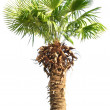 Palm tree isolated on white — Stock Photo