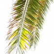 Leaves of palm tree — Foto Stock