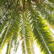 Leaves of palm tree — Stock Photo #8594754