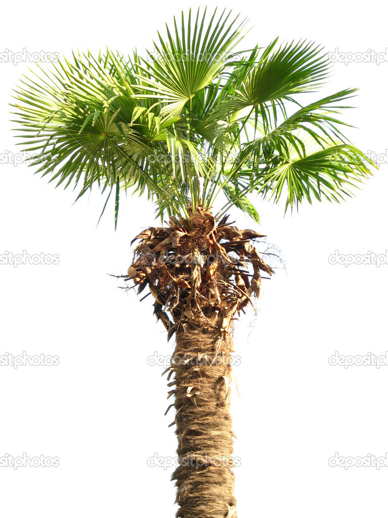 Palm tree isolated on white background with clipping path  Stock Photo #8594746