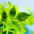 Stock Photo: Green spring leaves on white background