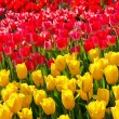Royalty-Free Stock Photo: Tulips yellow and red