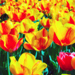Tulips bloom yellow — Stock Photo