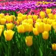 Stock Photo: Tulips yellow