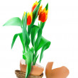 Tulips in egg — Stock Photo