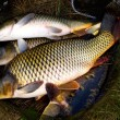Carp fish — Stock Photo