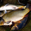 Carp fish — Stock Photo #9459877