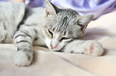 Lazy cat — Stock Photo