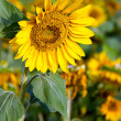 Sunflower — Stock Photo #7975659
