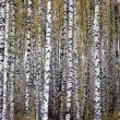 Stock Photo: Autumn birchwood