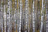 Autumn birchwood — Stock Photo