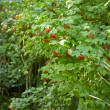 Red berries viburnum — Stock Photo