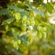 Stock Photo: Hop plant (Humulus lupulus)