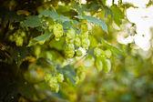 Hop plant (Humulus lupulus) — Stock Photo