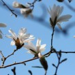 White magnolia blossoms — Stock Photo