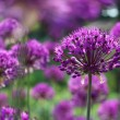 Purple Onion Flowers — Stock Photo