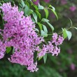 Stock Photo: Branch of lilac