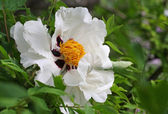 Tree Peony Flower — Stock Photo