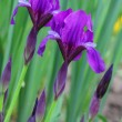 Iris flowers - Stock Photo