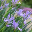 Wild iris flowers - Stock Photo