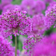 Purple Onion Flowers - Stock Photo