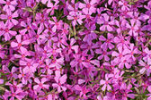 Phlox flowers background — Stock Photo