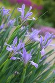 Flores silvestres iris — Foto de Stock