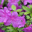 Purple azalea — Stock Photo