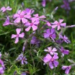 Phlox in the spring - Stock Photo