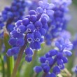 Blue flowers. Spring - Stock Photo
