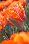 Orange tulips — Stockfoto