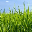 Green grass — Stock Photo #8000659