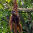 Borneo Orangutan — Stock Photo #10422452
