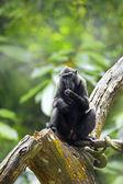 Crested zwarte makaak — Stockfoto