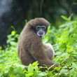 Gibbon monkey - Stock Photo
