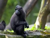 Crested Black Macaque — Stock Photo