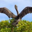 Pelican takeoff — Stock Photo
